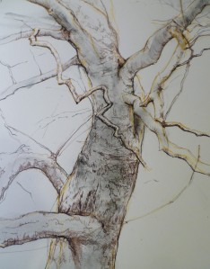 London Plane, pen and ink, layers.