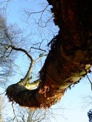 Paper birch from underneath