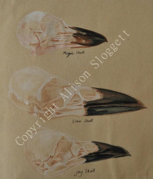 Corvid Skull Study, 2008