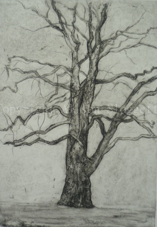 Plane Tree no. 2 Main Drive, 2013